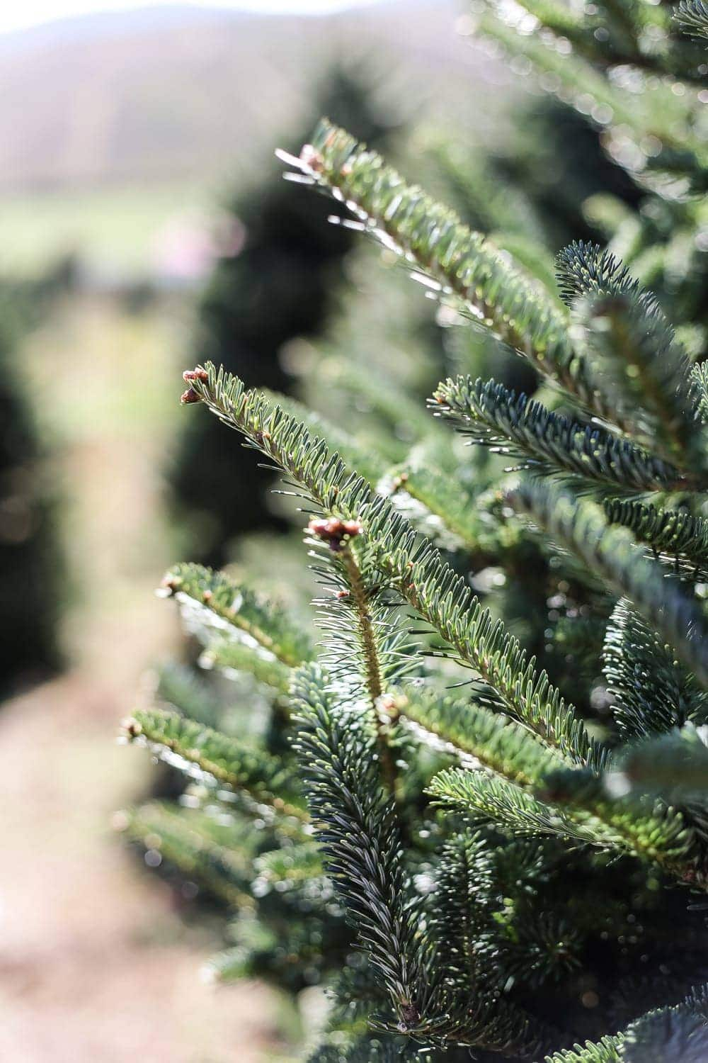 Why We Buy a Real Christmas Tree Every Year - Bless'er House
